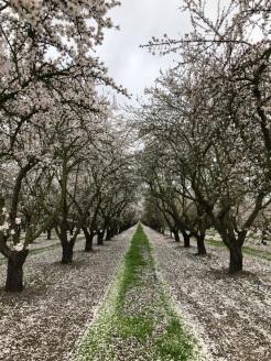 Almond Blossom in Spring