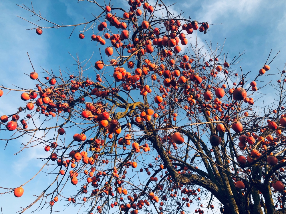 persimmon tree in country